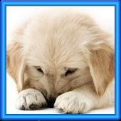 Golden Puppy Wallpaper