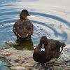 Hardhead Ducks (male and female)