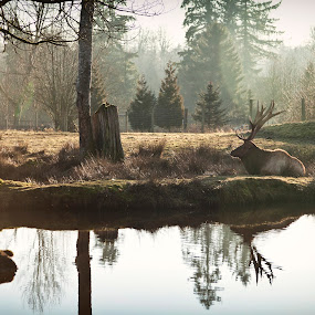 Its All Bull by Monte Arnold - Animals Other Mammals ( canada, zoo, elk, canadian, reflections, tranquility, bull,  )