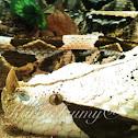 Vibora de Gabon