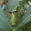 Epirus Bush-cricket