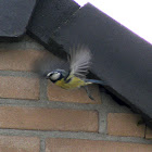 Blue tit in and out its nest