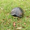 Yellowbelly Slider Turtle
