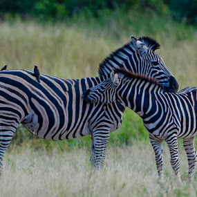 Zebra by Helgard de Villiers - Animals Other Mammals ( love, low contrast, care, high quality, in focus )