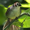 Prevost's Ground Sparrow