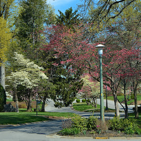 Littlewood Drive by William Stewart - City,  Street & Park  Neighborhoods ( dogwoods, nature, street, scenery, landscapes, spring )
