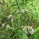 Ageratum/whiteweed