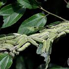 Emperor butterfly larvae (last instar)