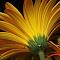 yellow gerbara.jpg