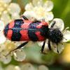 soldier beetle, clairon des ruches
