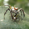 Two Striped Jumping Spider (Male)