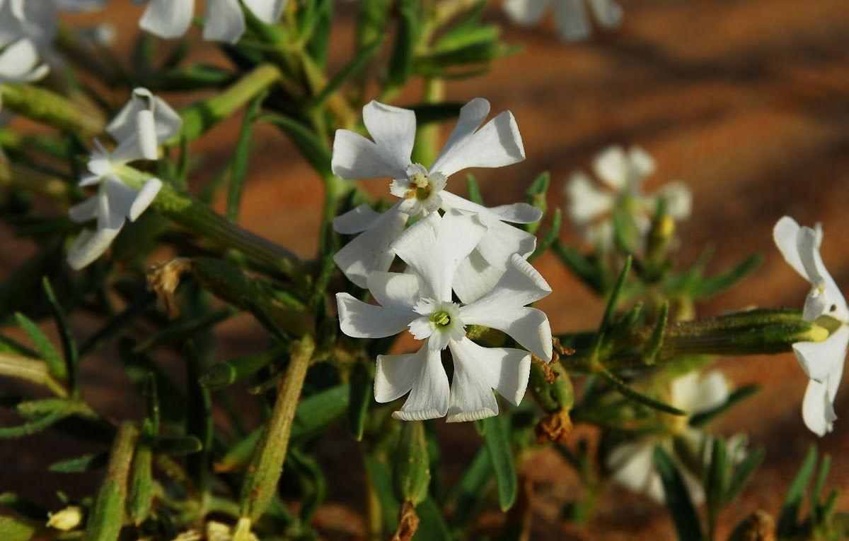 Caryophyllaceae;  Arabic-Turba