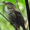 Tooth-Billed Bower Bird