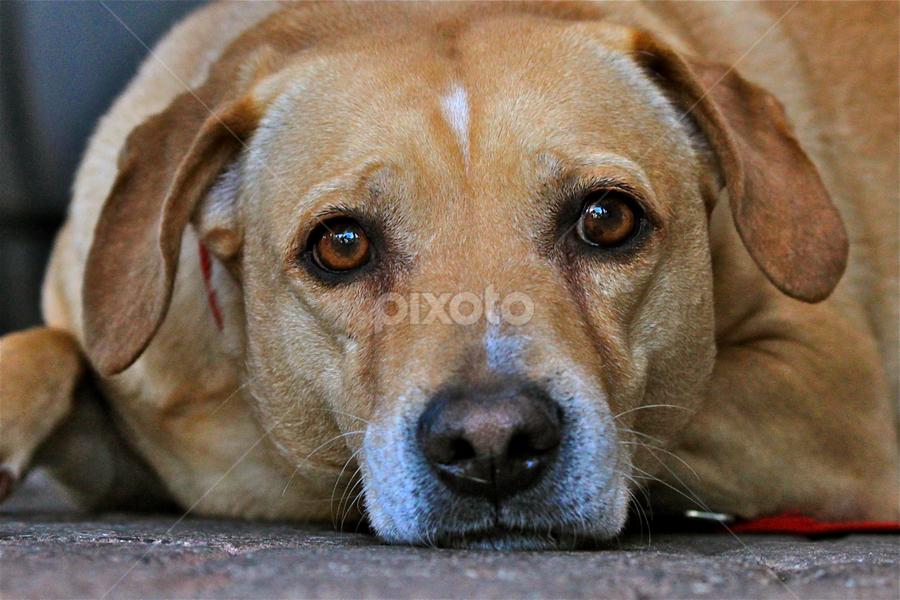 Bart by David Herholz - Animals - Dogs Portraits ( yellow, beagle, dog, lab, portrait )