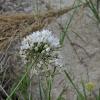 Sinai garlic