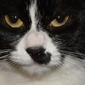 Black & White Cat by Char Robertson - Animals - Cats Portraits ( affection, cat, playful, black and white, lazy, cute )