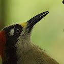 Black-cheeked Woodpecker (Carpintero, pájaro carpintero, carpinterito carinegro)