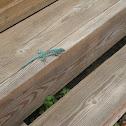 Aruban whiptail lizard