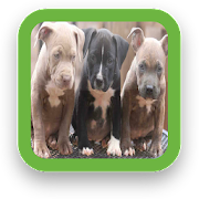 Puppy Pitbull Wallpapers