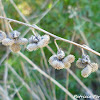 hound's-tongue dried seed pods