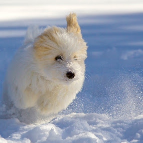 Henri by Jeannette Thalmann-Bendeth - Animals - Dogs Puppies ( playing, snow, white, puppy, french, fun, coton de tulear, dog, running, jump,  )