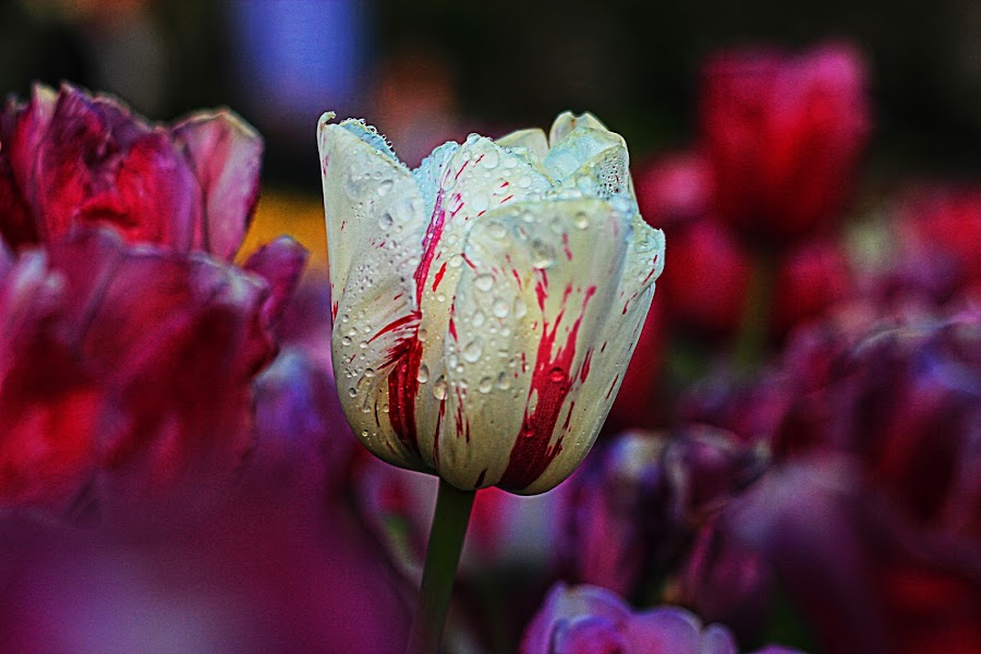 different beauty by Berrin Aydın - Flowers Flower Gardens ( red, purple, white, tulips, garden,  )