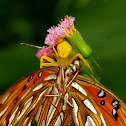 Crab spider with Gulf Fritillary butterfly