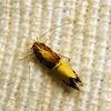Cosmopterigidae Moth