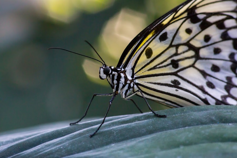 Butterfly Up Close 1 by John Cianfarani - Animals Insects & Spiders ( butterfly, conservatory, cambridge, occ, animal, butterfy,  )