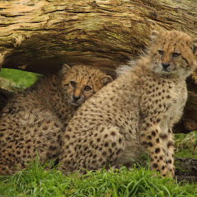 Cheetah Cubs by Selena Chambers - Animals Other Mammals ( pair of cubs, cheetah, cat, cheetah cub, cub )
