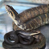 Northern Water Snake and Black Racer