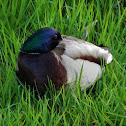 Wild duck ( Mallard )