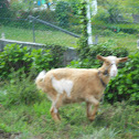 Cabra común(es)/Cabra común