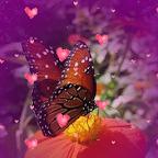 Butterfly Flower Hearts Live W