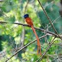 Africa Paradise Flycatcher