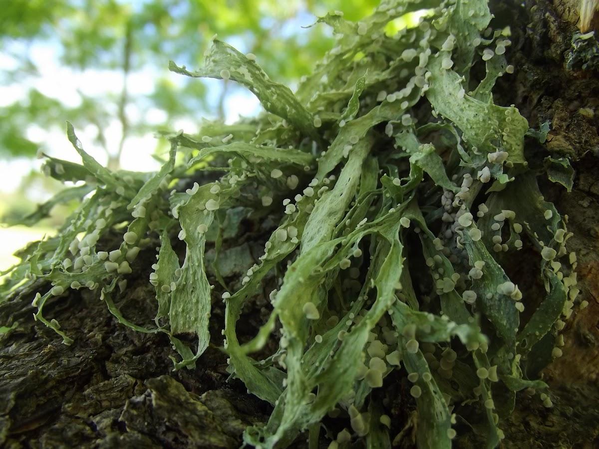 Cartilage lichen