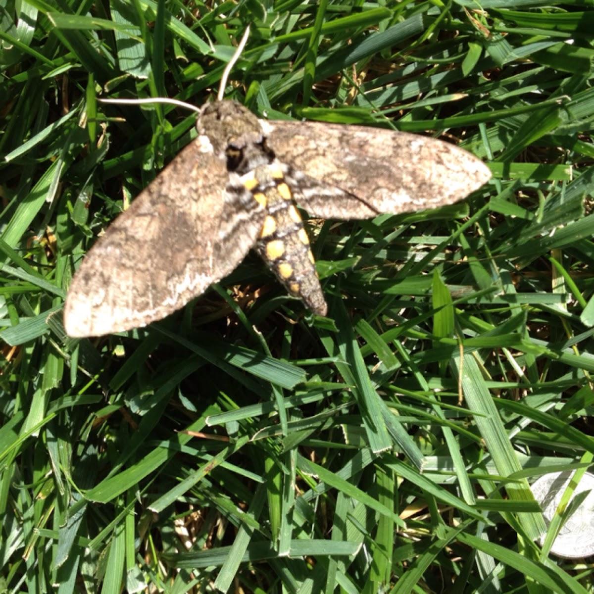 Tobacco Hornworm Moth (Manduca sexta).