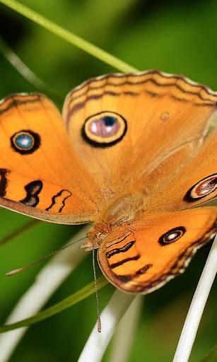 蝴蝶動態壁紙高清