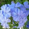 Celestina, Jazmín azul, Jazmín del Cabo, Jazmín del cielo, Jazminero azul, Azulina