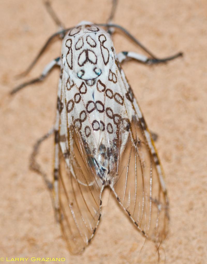 Giant Leopard Moth