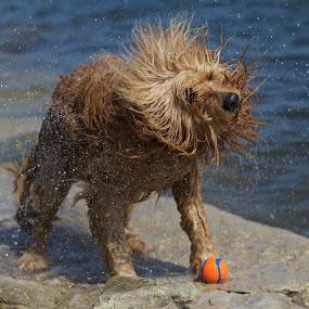 Sun Face Lion Queen by Ross Bolen - Animals - Dogs Playing ( #showusyourpets, #garyfongpets )