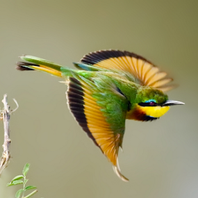 Somali bee eater in flight by Sue Green - Animals Birds ( east africa. kenya masai mara )