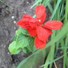 Salvia 'Medium red'