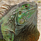 P5174233_extreme-closeup-green-iguana-dewlap-c-pix.jpg