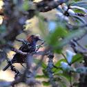 Ākohekohe, crested honeycreeper
