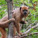Great Brazilian monkey