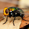 Snail Parasite Blowfly