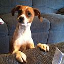 Willie Willis  Chi hound Italian greyhound