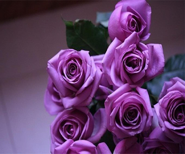 Purple Rose Live Wallpaper