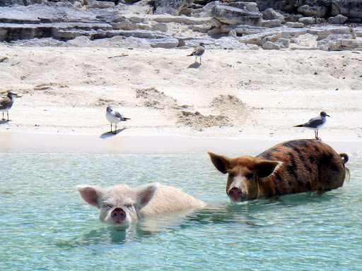 swimming-pigs-bahamas - In the Bahamas, pigs don't fly but they do swim.
